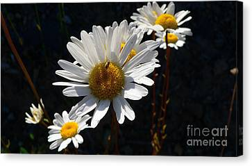 Canvas Print featuring the photograph Mountain Daisy by Larry Keahey