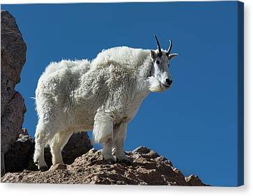 Canvas Print featuring the photograph Mountain Goat 2 by Gary Lengyel