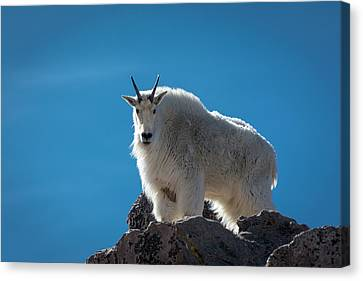 Canvas Print featuring the photograph Mountain Goat 3 by Gary Lengyel