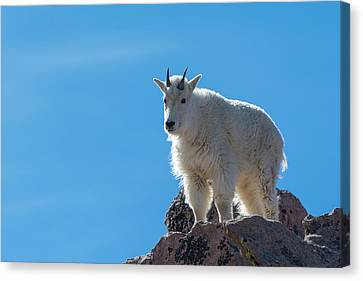 Canvas Print featuring the photograph Mountain Goat 4 by Gary Lengyel