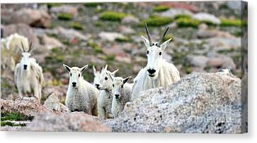Canvas Print featuring the photograph Mountain Goat Family Panorama by Scott Mahon