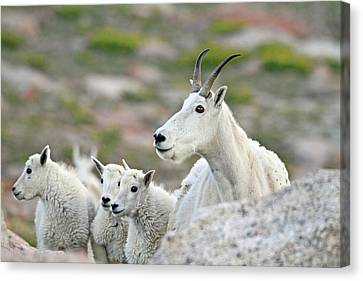 Canvas Print featuring the photograph Mountain Goat Family by Scott Mahon