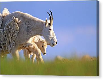 Canvas Print featuring the photograph Mountain Goat Light by Scott Mahon