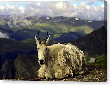 Mountain Goat Resting Canvas Print by Sally Weigand