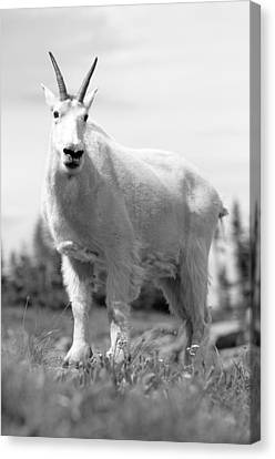 Goat Canvas Print - Mountain Goat by Sebastian Musial
