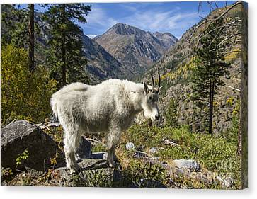 Mountain Goat Sentry Canvas Print