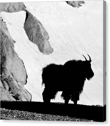 Mountain Goat Shadow Canvas Print by Colleen Coccia