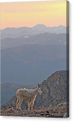 Canvas Print featuring the photograph Mountain Goat Sunset by Scott Mahon