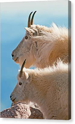 Canvas Print featuring the photograph Mountain Goats by Gary Lengyel