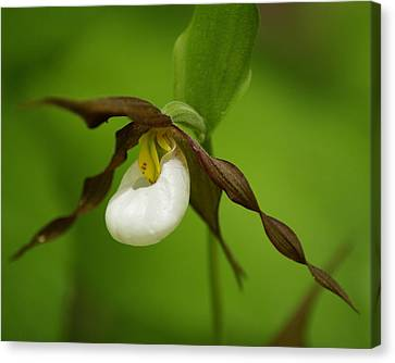 Canvas Print featuring the photograph Mountain Lady's Slipper by Ben Upham III