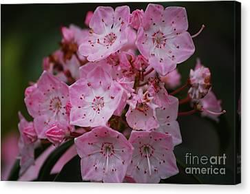 Wildflowers Canvas Print - Mountain Laurel Bloom by Randy Bodkins