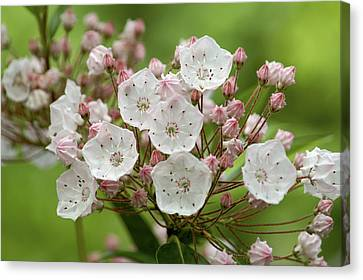 Mountain Laurel Canvas Print by Henri Irizarri