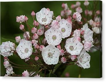 Mountain Laurel I Canvas Print by Henri Irizarri