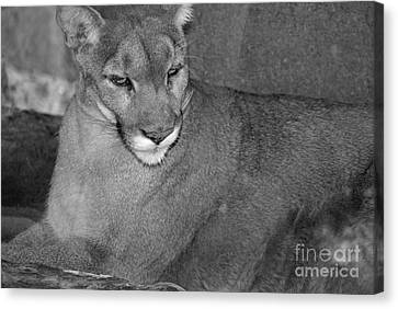 Mountain Lion - Sonoran Desert Museum  Canvas Print by Donna Greene