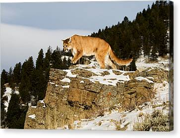 Mountain Lion On Rocks Canvas Print