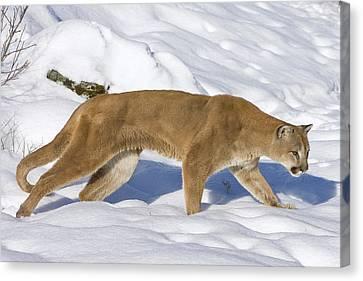 Mountain Lion Puma Concolor Hunting Canvas Print by Matthias Breiter