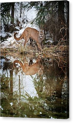 Mountain Lion Reflection Canvas Print