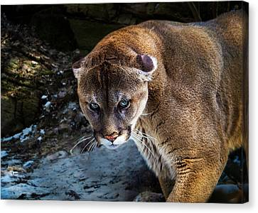 Tracy Munson Canvas Print - Mountain Lion Stare Down by Tracy Munson