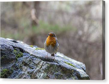 Mountain Robin Canvas Print