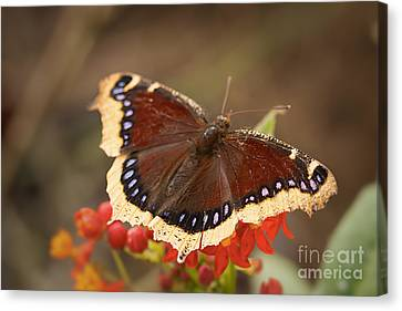 Mourning Cloak Butterfly Canvas Print by Ana V Ramirez