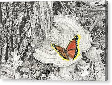 Mourning Cloak Canvas Print by Don Macmillan