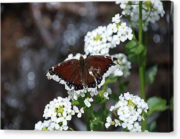 Mourning Cloak Canvas Print
