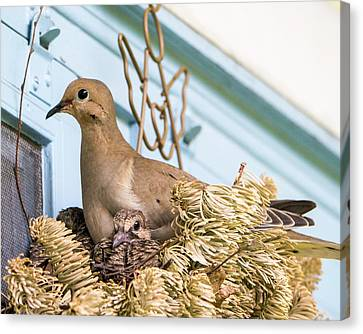 Mourning Dove And Chicks 4 Canvas Print by Steven Ralser