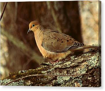 Earth Tones Canvas Print - Mourning Dove At Dusk by Amy Tyler