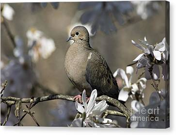 Mourning Dove - D009888 Canvas Print by Daniel Dempster