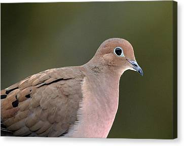 Mourning Dove Canvas Print by Debbie Oppermann