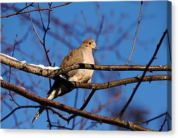 Mourning Dove In Winter Light Canvas Print by Debbie Oppermann