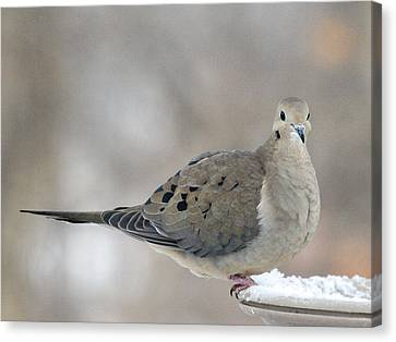 Mourning Dove Looks Me In The Eye Canvas Print by Laurie With