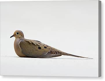 Mourning Dove Canvas Print by Shelly OBrien