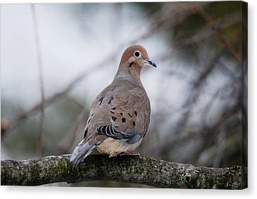 Mourning Dove Sitting Pretty Canvas Print by Debbie Oppermann