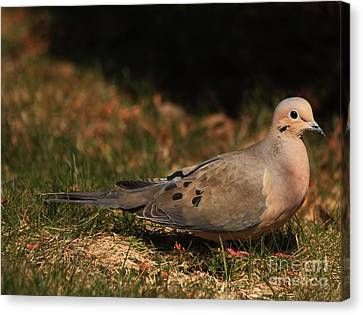 Mourning Dove Spring 2012 Canvas Print