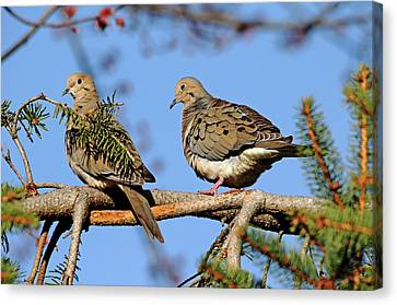 Mourning Doves In Spring Canvas Print by Debbie Oppermann