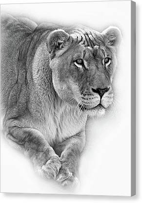 Lioness Canvas Print - Moving In - Vignette Bw by Steve Harrington
