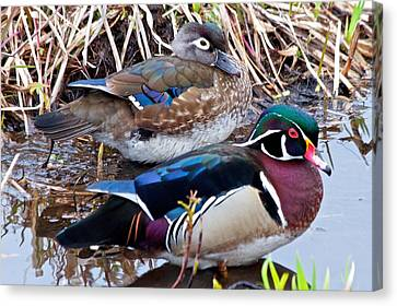 Mr And Mrs Woodducks Canvas Print by Scott Holmes