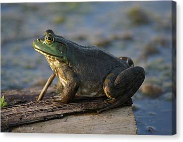 Mr. Bullfrog Canvas Print