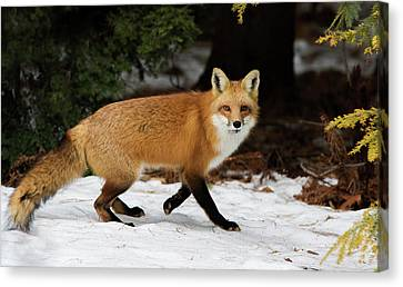 Canvas Print featuring the photograph Mr Fox by Mircea Costina Photography