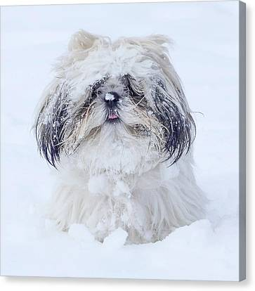 Shihtsu Canvas Print - Mr Fun by Joy McAdams