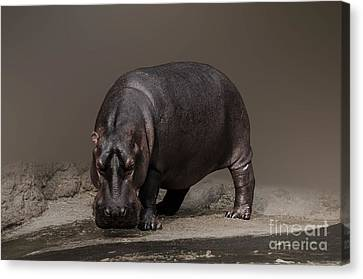 Mr. Hippo Canvas Print by Charuhas Images