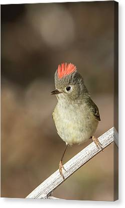 Canvas Print featuring the photograph Mr Kinglet  by Mircea Costina Photography