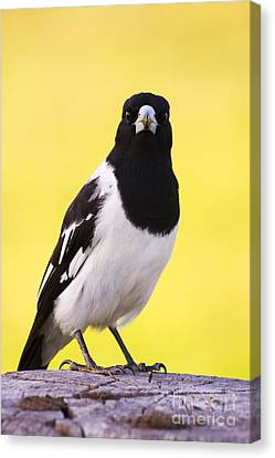 Mr. Magpie Canvas Print by Jorgo Photography - Wall Art Gallery