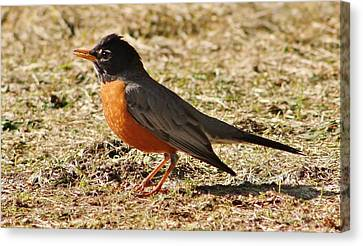 Canvas Print featuring the photograph Mr. Spring Robin by Al Fritz
