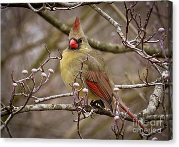 Canvas Print featuring the photograph Mrs Cardinal by Douglas Stucky