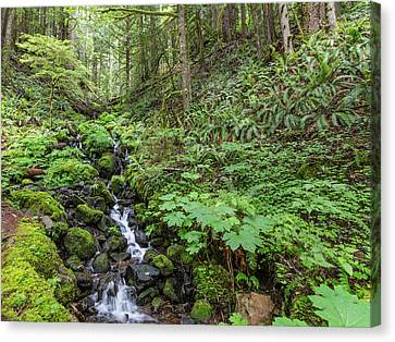 Mt Rainier Old Growth Forest Canvas Print by Sam Amato