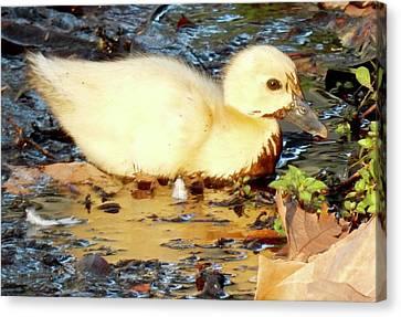 Muddy Duckling Canvas Print