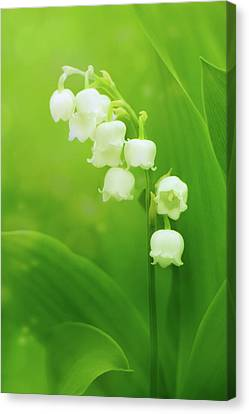 Muguet Melody Canvas Print