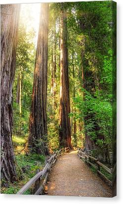 Muir Woods Forest Path And Redwood Trees Canvas Print by Jennifer Rondinelli Reilly - Fine Art Photography